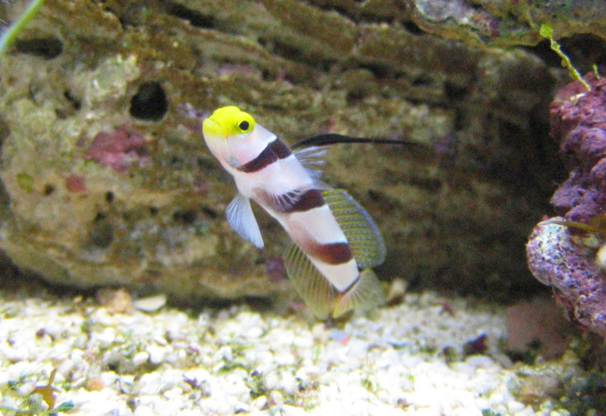 Black ray goby wikipedia for Saltwater goby fish