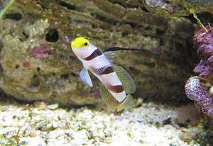 A Hi Fin Red Banded goby