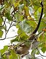 Black-tailed Marmoset (Callithrix melanura) (31428341990).jpg