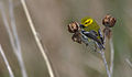 Black-throated Green Warbler 2.jpg