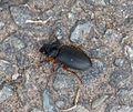 Black Beetle. Harpalini Tribe. Carabidae - Flickr - gailhampshire.jpg