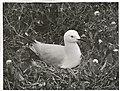 Black Billed Gull at nest. (Larus bulleri) Maori name Tarapunga (9).jpg