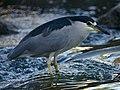 Black Crowned Night Heron (7674183868).jpg
