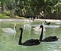 Black Swan And White Swan.jpg