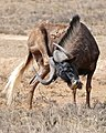 Black Wildebeest (Connochaetes gnou) (32590594775).jpg