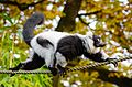 Black and White Ruffed Lemur (30987171406).jpg