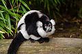 Black and white Ruffed Lemur (25144857806).jpg