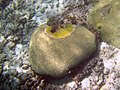 Black band disease - brain coral.jpg