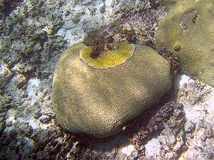 Black band disease - Buck Island Reef National Monument, 2010
