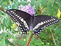 Black swallowtail female.jpg