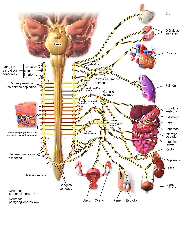 Sistema Nervioso Simpático Wikipedia La Enciclopedia Libre
