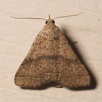 Herminiinae - Image: Bleptina caradrinalis
