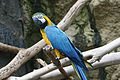 Blue-and-gold Macaw (Ara ararauna) at zoo.jpg