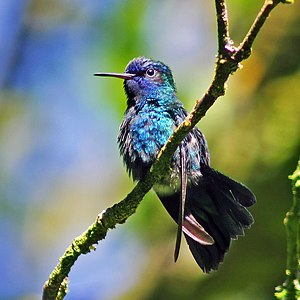 English: Blue-headed hummingbird photographed ...