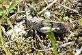 Blue-winged Grasshopper - Oedipoda caerulescens (14950642947).jpg