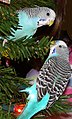 Blue Budgerigars.jpg