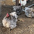 Blue Frizzle Pullets.jpg
