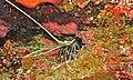 Blue Spiny Lobster (Panulirus versicolor) (6056164810).jpg