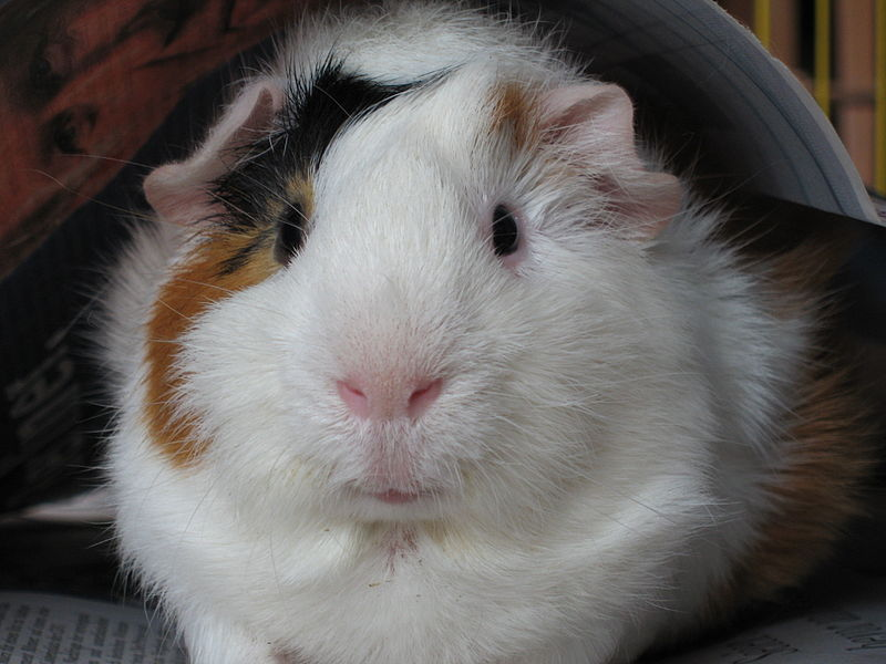 File:Bob, the guinea pig.jpg