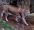 Bobcat (2146604653).jpg