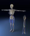 Body-bones3.png