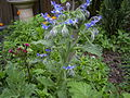 Borage-overv-hr.jpg