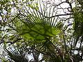 Borassus aethiopum 0035.jpg