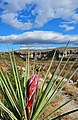 Border Yucca - panoramio.jpg