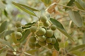 Boscia senegalensis - Unripe fruits