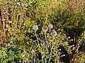 Botanischer Garten Berlin-Dahlem 10-2014 photo25 Echinops sphaerocephalus.jpg