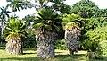 Botanischer Garten Cienfuegos 09.jpg