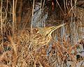 Botaurus lentiginosus Forsythe NWR.jpg