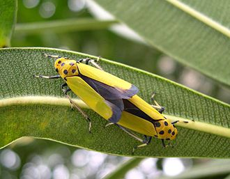 Leafhopper - Mating pair of Bothrogonia ferruginea (Cicadellinae),  known as tsumaguro-ōyokobai in Japan