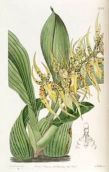 Brassia lanceana - Edwards vol 21 pl 1754 (1836).jpg