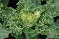 Brassica Nagoya White 3zz.jpg