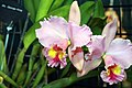 Brassolaeliocattleya George King 0zz.jpg