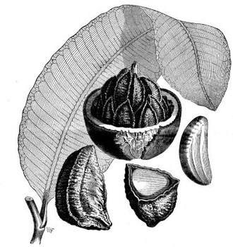 Brazil nut - Depiction of the Brazil nut in Scientific American Supplement, No. 598, June 18, 1887