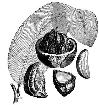 Brazil Nut - Project Gutenberg eBook 11662