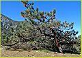 Bristle Cone, Seven Oaks 4-5-14 (13738638033).jpg