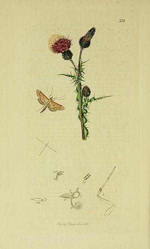 Dolicharthria punctalis - Illustration from John Curtis's British Entomology Volume 6