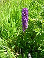 Broad-Leaved Marsh Orchid - geograph.org.uk - 471049.jpg