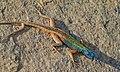 Broadley's Flat Lizard (Platysaurus broadleyi) male (6437292371).jpg