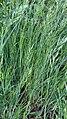Bromus hordeaceus 129396150.jpg