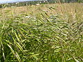 Bromus japonicus (3860474093).jpg