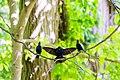 Brown-headed cowbird (34241845371).jpg
