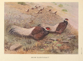 Brown Eared-Pheasant by George Edward Lodge.png