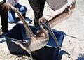Brown Pelican Released by USFWS (4670056446).jpg
