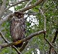 Brown fish owl (Ketupa zeylonensis).jpg