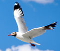 Brown headed sea gull.jpg