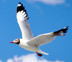 Brown headed sea gull.jpg